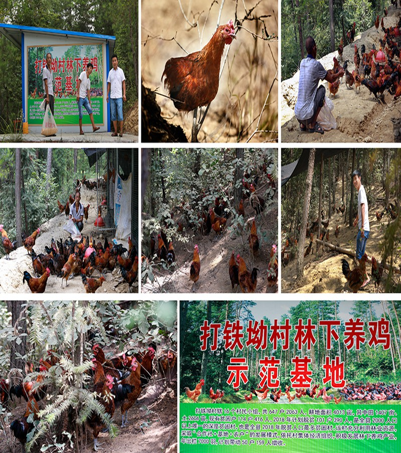 林下养鸡脱贫路